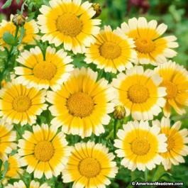 garland daisy